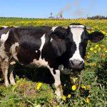 «Αέρια» αγελάδων προκάλεσαν έκρηξη σε φάρμα στη Γερμανία