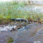 Πυροσβέστες είδαν Κροκόδειλο στο Φράγμα Ποταμών Ρεθύμνου