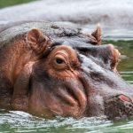 Ιπποπόταμος διασώστης σώζει απο πνιγμό ζέβρα