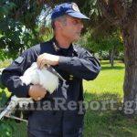 Επιχείρηση της Πυροσβεστικής για μικρό πελαργό που έπεσε από τη φωλιά του